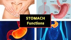 Stomach Physiology and Anatomy - Functions of Stomach - Gastric Glands and Enzymes. The stomach is a muscular organ located on the left side of the upper abd. Heart Electrical, Human Digestive System, Health Education, Physiology, Health Problems, Wealth, Anatomy, Youtube, Youtubers