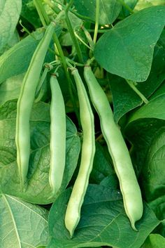 6 Speedy Vegetables: 'Contender' bush beans. 49 days for stringless, 6- to 8-inch pods   From Rodale's Basic Organic Gardening: A Beginner's Guide to Starting a Healthy Garden