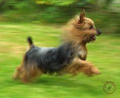 Australian+Silky+Terrier+Puppies   ... /Dogs/Australian Silky Terrier/Australian Silky Terrier 9B19D-03