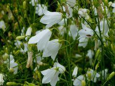 Campanula rotundifolia 'White Gem'