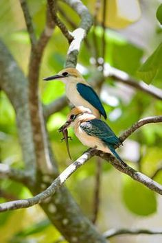 tuamotu kingfisher...only 125 left in the world