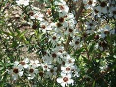 Manuka is found throughout New Zealand and probably is one the most common species in New Zealand from wetland, coastal and lowland forest. (Bees pollenate the Manuka Tree to make Manuka Honey) http://homeguides.sfgate.com/grow-manuka-tree-35690.html