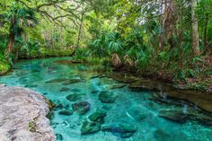 The mesmerizing Rock Springs Run at Kelly Park in Apopka, Florida. Rock Springs Run, Kelly Park, Florida Springs, Spring Landscape, Landscape Plans, Landscaping Tips, Cool Plants, Places To Visit, Fine Art