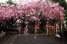 京都の穴場の水火天満宮の見事なしだれ桜