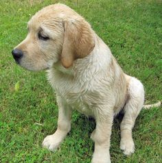 A wet Yellow Lab