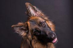 Curious... - German shepherd's studio shot.