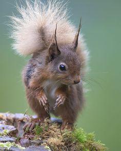 https://flic.kr/p/YugEad   Red Squirrel