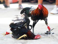 buynteneew: Jasa agen sabung ayam indonesia