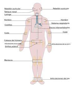 Lugares en los que se haya el tejido cartilaginoso en el ser humano