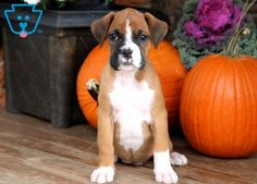 She is a happy and healthy Boxer pup ready to find her new companion. This little gal is a social butterfly who will be the talk of the town. She is AKC Boxer Puppies For Sale, Dog Care, Halloween, Dog Lovers, Cute Animals, Pumpkin, Healthy, Dogs, Boxers