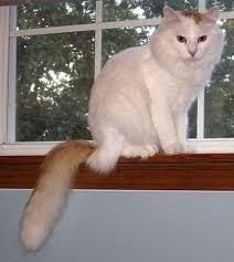 The Turkish Van cat, sometimes known as the swimming cat, originated in the Lake Van area of Turkey. It is seldom exported to other parts of the world, and is rare in its own homeland as well. Turkish Van Cats, Turkish Angora Cat, Angora Cats, Fancy Cats, Cute Cats, White Cat Breeds, Burmilla Cat, Flea Shampoo For Cats, Toxic Plants For Cats