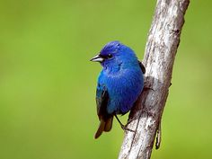 Indigo Bunting-  I was lucky enough to spot one of these while visiting my mom in Yadkinville NC