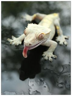 Gecko - 'A Friendly Greeting' by CatharsisJB Cute Reptiles, Reptiles And Amphibians, Mammals, Beautiful Creatures, Animals Beautiful, Animals And Pets, Cute Animals, Cute Gecko, Reptile Room