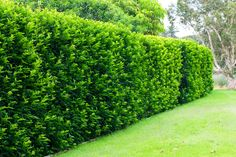Murraya Hedge – All too often the front garden is a kind of no-man's-land. I… - Landscaping Verbetering 2019 Hedging Plants, Fence Plants, Shrubs, Murraya Hedge, Murraya Paniculata, Arborvitae Landscaping, Privacy Landscaping, Privacy Hedge, Laurel Hedge