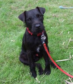 When walking your Patterdale Terrier, always remember the leash.