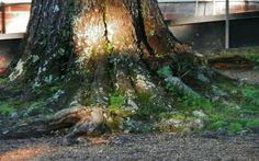 "Sunlight on an old tree at Rowan Oak Museum. Daneel Ferreira on ""The Art of Being"" for Luhambo.  http://luhambo.wordpress.com/2013/07/31/the-art-of-being/"