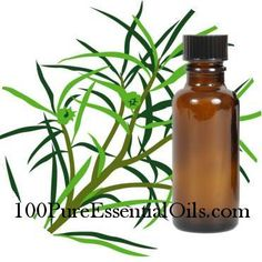 100PureEssentialOils.com - Tea Tree Oil 11 lbs - Melaleuca Alternifolia - 100% Pure Essential Oil, $385.11 (http://www.100pureessentialoils.com/bulk/tea-tree-oil-11-lbs.html)