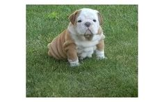 Lovely Healthy ENGLISH BULLDOG puppy Available Now with EU passport, if you are looking for a Lovely companion, you have just found the right and perfect breed and puppy that will fill your home with lots of fun and more especially when your home is always boring.....We have two available little puppy age 10 weeks old and are all ready with all their belongings to play in your home. Contact us now for more details. DON'T MISS THIS OFFER! FOR MORE DETAILS AND RECENT PICTURES OF OUR AVAILABLE…