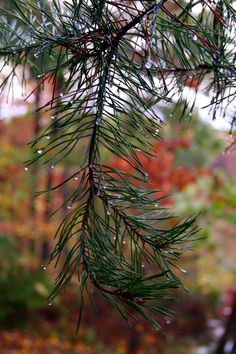 pine-tree-rain-drop.png (2304×3456)