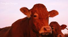 The neighbours Limousin cows cattle France