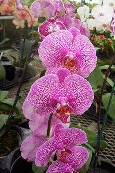 The Moth Orchid - great for brightening up a dorm room with their vibrant blooms, moth orchids are one of the best air-purifying plants as well. They are really easy to grow making them perfect for dorm rooms.