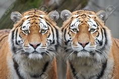 This photo was just sold @ 123rf: Closeup image of two Amur tigers standing side by side https://www.123rf.com/photo_52867449_closeup-image-of-two-amur-tigers-standing-side-by-side.html
