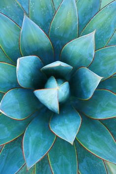 Beautiful Blue Succulent Hue