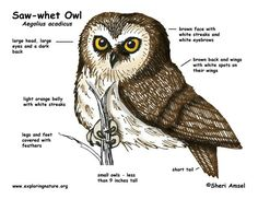 Saw-Whet Owl facts Bird Pictures, Nature Pictures, Owl Facts, Saw Whet Owl, Small Owl, Great Grey Owl, Science Activities For Kids, Large Eyes, Animal Totems