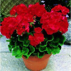 Imagini pentru flori muscate Hummingbird Garden, Plant Information, Drought Tolerant, Native Plants, Horticulture, Dark Red, Houseplants, Perennials, Sustainability
