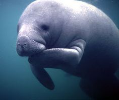 want to see a manatee in natural habitat and maybe even swim with a buddy