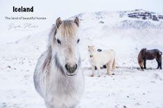 These are the beautiful horses we saw while traveling around Island. / Krásne kone ktoré sme videli po ceste po Islande. / Ove predivne kone smo videli na izletu po Islandu.