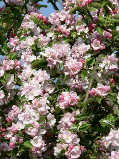 Apple blossoms in Nova Scotia. As kids, we'd pick them, add sugar, for a tasty snack..