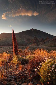 Tajinaste Rojo, Parque Nacional del Teide, Tenerife, Islas Canarias. Spain