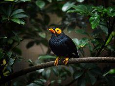 Photograph Yellow - Faced Myna by Syahrul Ramadan on 500px
