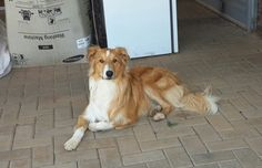 Gambit, Rough Collie with old fashioned looks