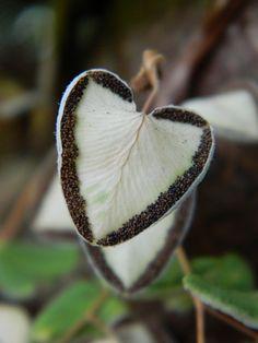 Pellaea cordifolia | Flickr - Photo Sharing!