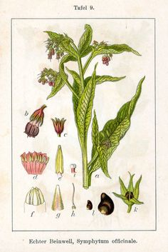 Gewone smeerwortel - Symphytum officinale