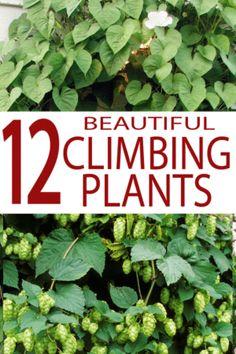 Wall Climbing Plants, Climbing Flowers, Climbing Vines, Climbing Flowering Vines, Hanging Plants, Pergola Plans, Diy Pergola, Pergola Ideas, Pergola Kits