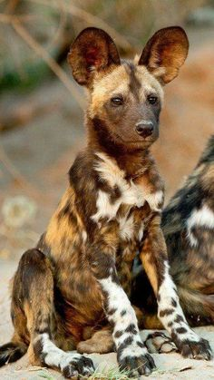 "Although hyenas aren't tecnically ""dogs"", I prefer to see them as such. Besides...they're cool critters, regardless of how they're ""classified"". Just LOOK at those ears!"