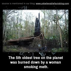 the 5th oldest tree on the planet was burned down by a woman smoking meth.