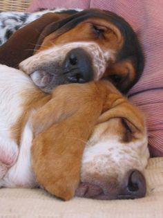 Basset Hounds Taking A Nap! Basset Puppies, Hound Puppies, Basset Hound Puppy, Cute Puppies, Cute Dogs, Dogs And Puppies, Beagles, Doggies, Chien Basset