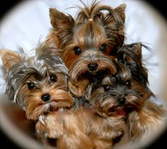 My Yorkie loves  Lilli, Mia,  Allie