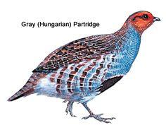 21 Best Hungarian partridges images in 2015 | Partridge