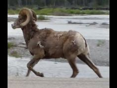 People often confuse Rocky Mountain Goats with Bighorn Sheep. This video distinguishes them based on key differences in appearance so that you'll be well-ver...