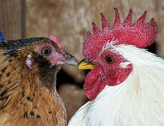 backyardchickens.com has a great forum for help and idea for raising chickens.