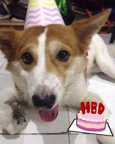 Happy 2nd birthday to me! #dog #dogsofinstagram #cute #corgi #labrador #corgidor by hamtarothecorgidor