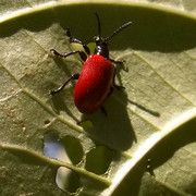 Florida gardeners face new insect threat from China