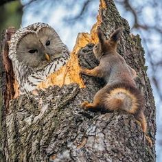 Owl on tree with squirrel, adorable animals, animal lover, wild photo, life of wild animals Nature Animals, Animals And Pets, Funny Animals, Cute Animals, Crazy Animals, Wildlife Nature, Happy Animals, Funny Bird Pictures, Owl Pictures