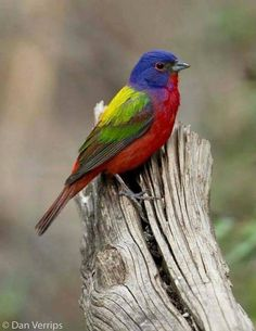 Painted Bunting in Junction, Texas by ~ Dan Verrips~photographer Bunting Bird, Painted Bunting, Buntings, Rainbow Bunting, Cute Birds, Pretty Birds, Exotic Birds, Colorful Birds, Most Beautiful Birds