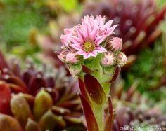 #huislook #sedum #bloeiendsedum #tuin #Sempervivum #bloem #WADM #tekoop Canvas, Garden, Tela, Garten, Lawn And Garden, Canvases, Gardens, Gardening, Outdoor